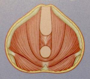 Anatomie des Beckenbodens – innerste Schicht