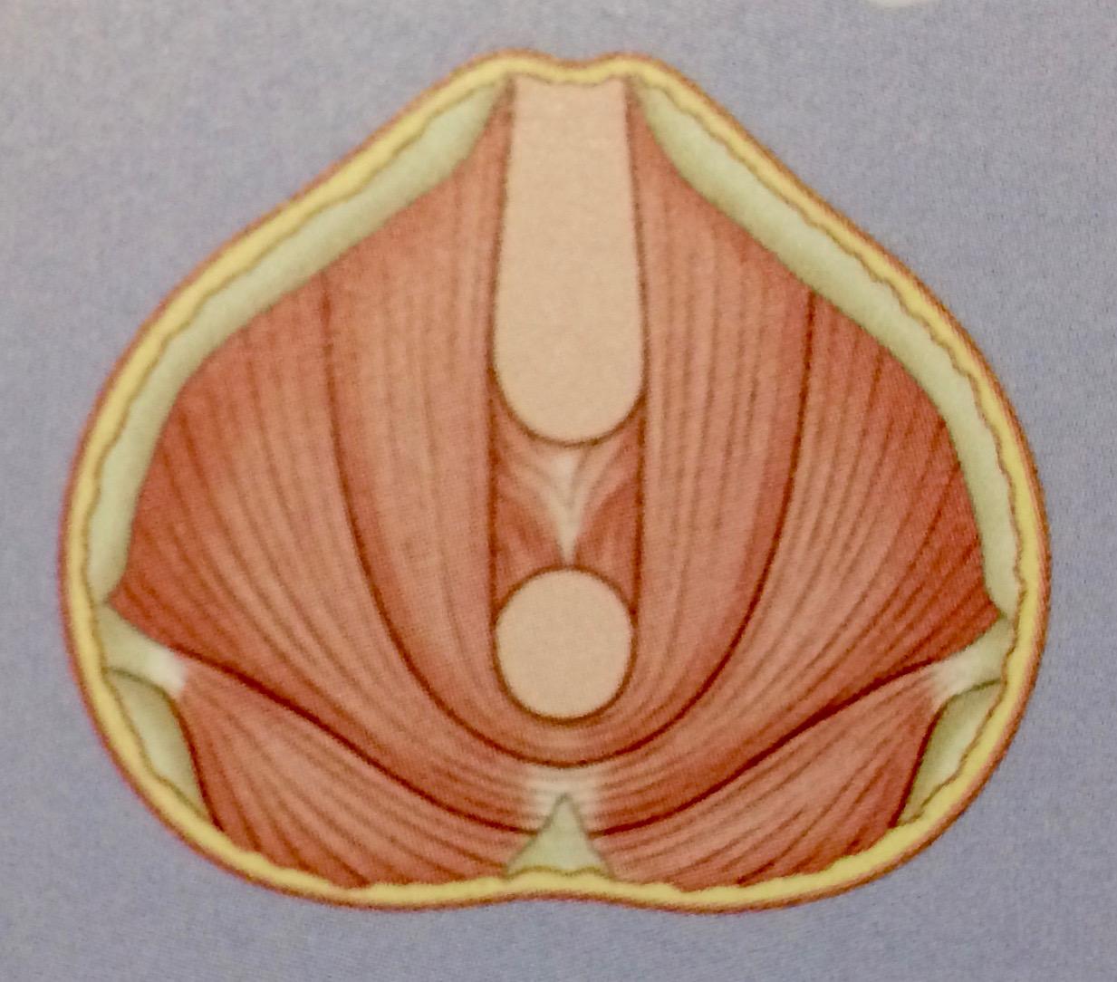 Mann anatomie beckenboden Beckenbodentraining für